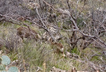 Mule Deer use this time of year to graze on new growth and explore