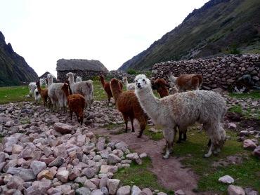 A Local Llama Clan